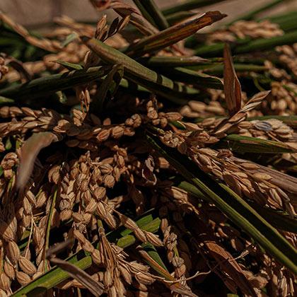 Detalle de arrozal de Valencia