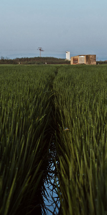 Visita a los arrozales en la Albufera